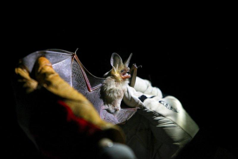 The teeth of the blond desert pallid bat found in Sedona can penetrate the outer shell of scorpions and millipedes. These bats can lift the arthropods off the ground and fly them home for dinner.