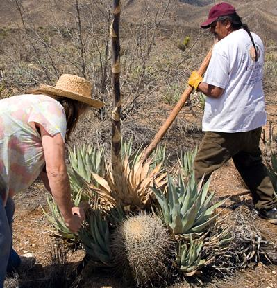 Harvesting an agave plant