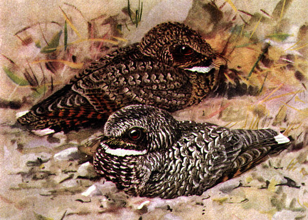 Common Poorwill, Phalaenoptilus nuttallii, offset reproduction of watercolor. Nominate race in foreground, Dusky Poorwill, Phalaenoptilus nuttalli californicus, in background.