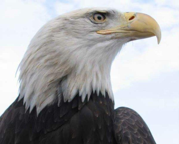Close-up shot of a bald eagle. Unique to North America, the bald eagle is the continent's most recognizable aerial predator.