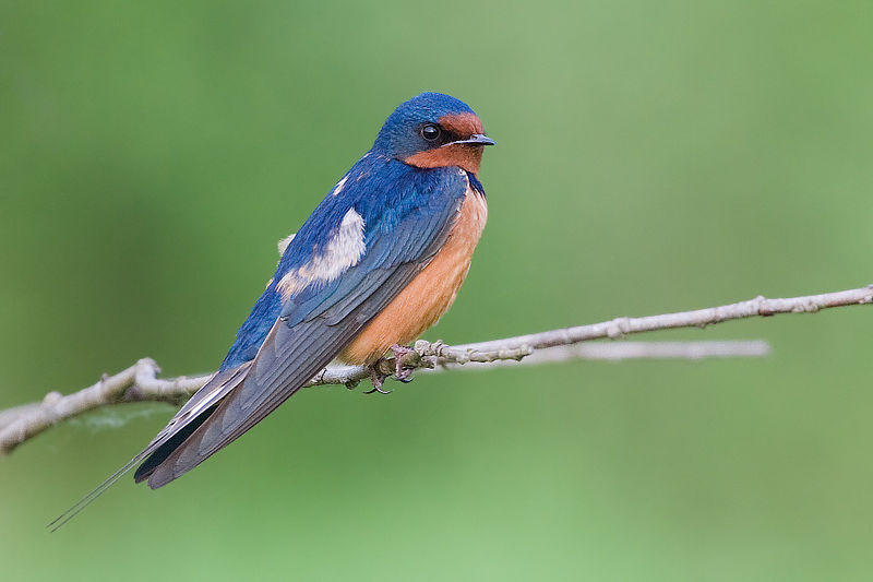 Barn Swallow (H. r. erythrogaster) in Juanita, Washington, USA