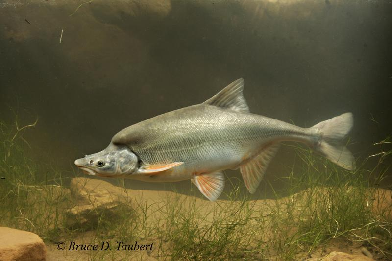 The humpback chub is making a comeback knau arizona for Gila river fishing