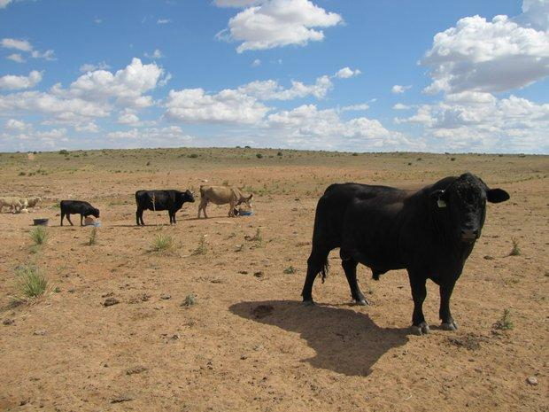 Cattle and sheep on dry range land just outside Roswell, N.M.