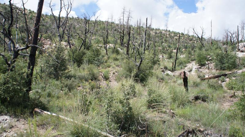 An area burnt in 2008 in the Lane 2 Fire that was treated in a similar way to the high risk areas of the Gladiator Fire shows signs of regrowth of native plants because the soil was held in place through the work of BAER.