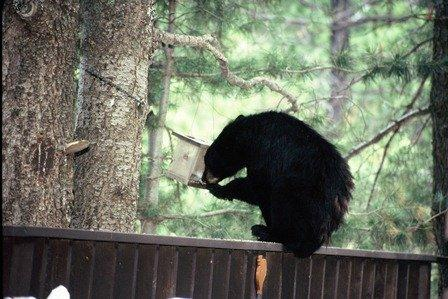 The long drought and fire have killed off berries, acorns and other favorite foods in parts of the southwest. So bears have become resourceful.