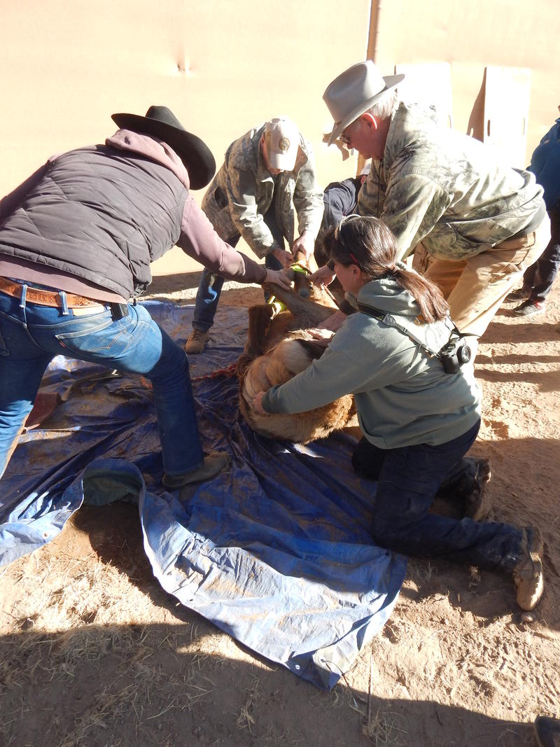 The elk is given a health checkup in a holding pen.
