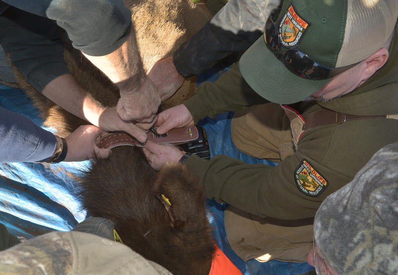 The elk receives a radio collar...