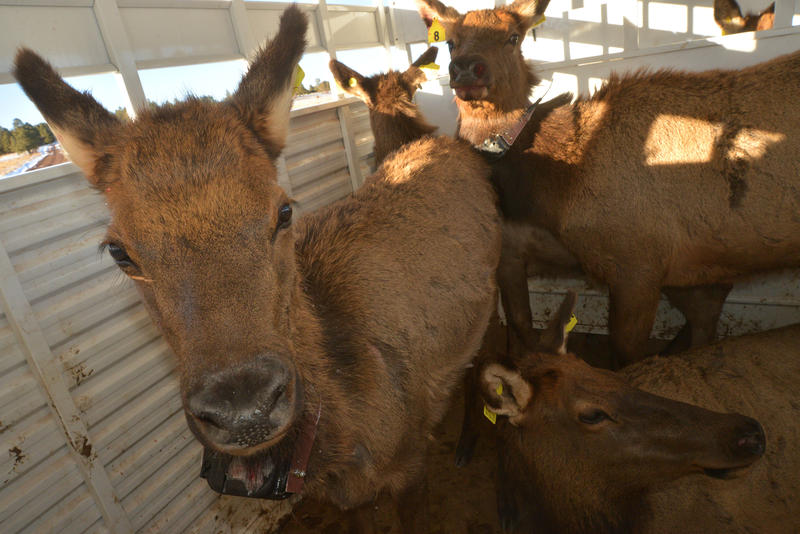 Captured elk waiting for transport.