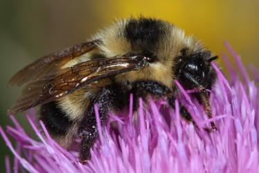 Cockerell's Bumblebee, southern New Mexico