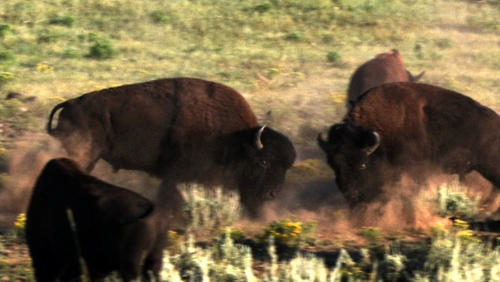 The head-on collision of bison.