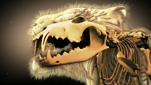 The tiger's jaw, with its four-inch canines filled with pressure-sensitive nerves to guide it to an effective bite to the neck that strangles the prey.