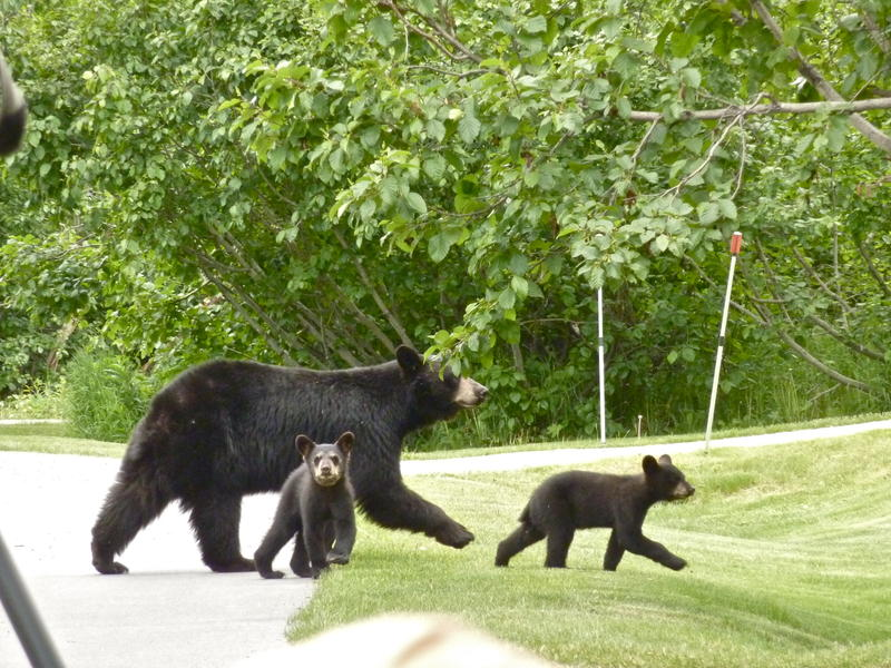 "Hour Two - ""The Road North."" This mother black bear and her cubs are true urban bears. They have learned to look both ways before crossing the street."