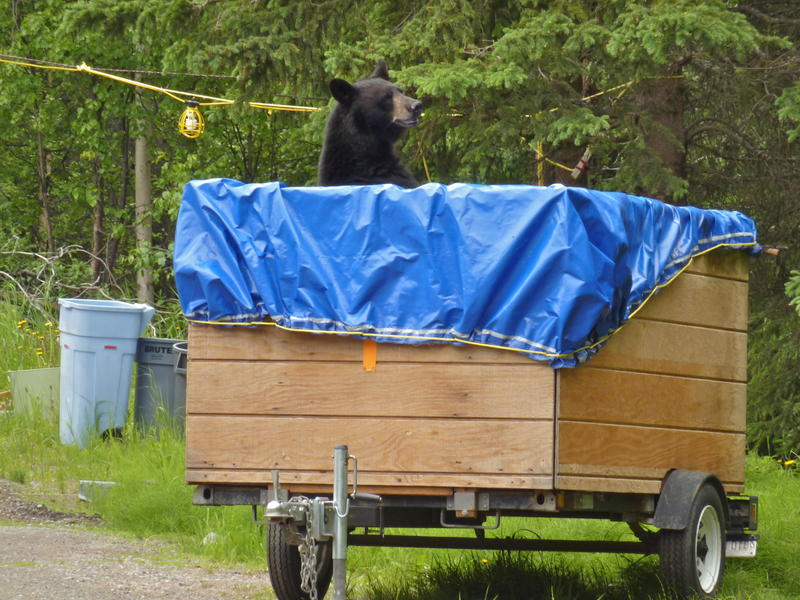 "Hour Two - ""The Road North."" Male black bear gets into trash left in a trailer in an Anchorage neighborhood. This bear eventually moved on into the nearby woods."
