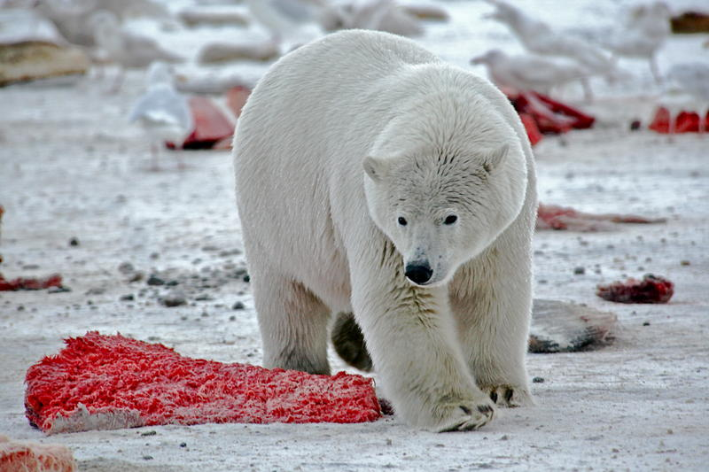 A polar bear surrounded by discarded bowhead whale meat.