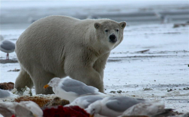 Polar bear looking for scraps at the whale bone pile.