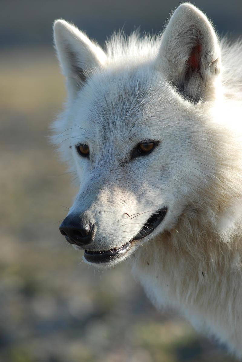 A white wolf.
