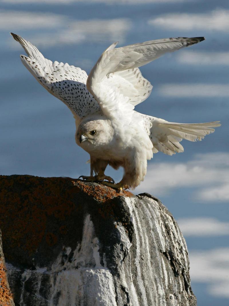 A white gyrfalcon.
