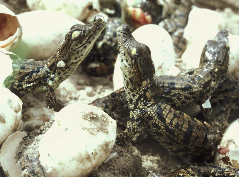 Crocodile hatchlings greet each other.