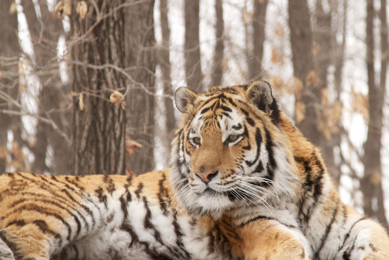 Lying perched on a rock, this adult male tiger surveys his teritory in Victor Yudin's tiger neclosure, Spassk,, Primorsky Krai, Russia.