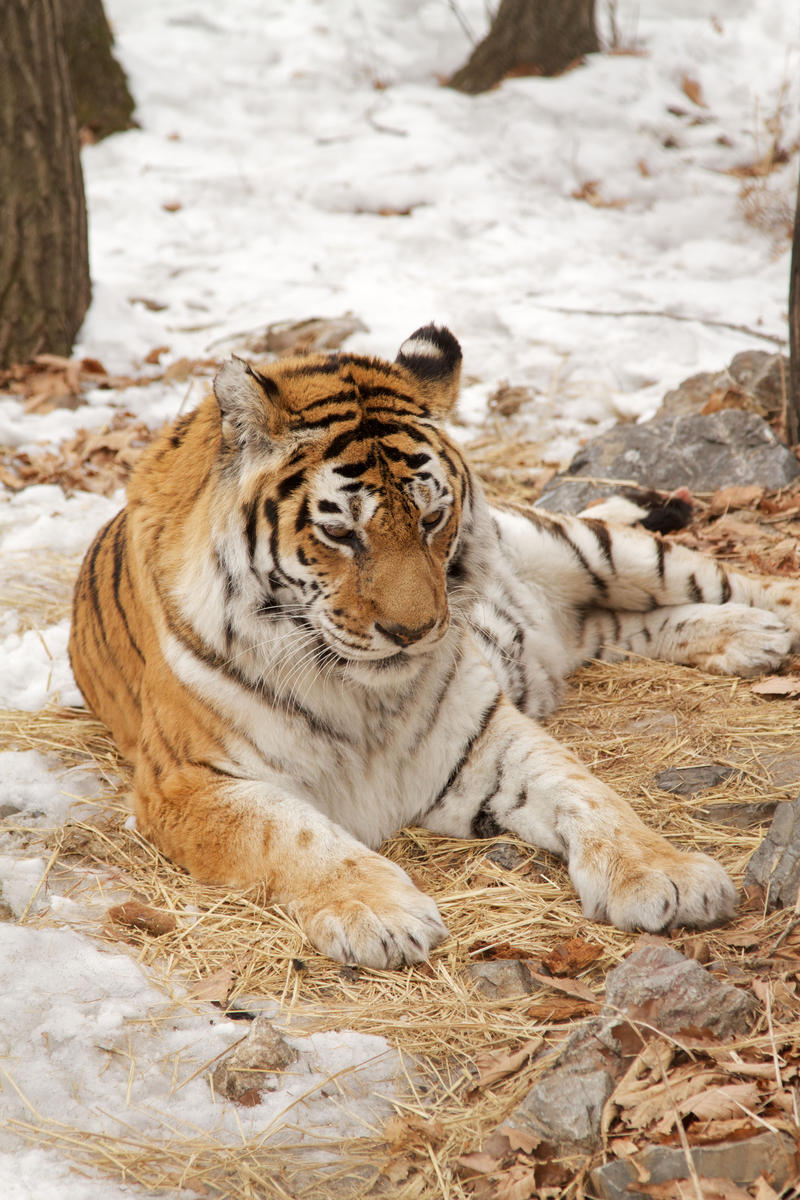 This adult female tiger was raised in captivity and is 19 years of age, an age that would be extremely rare in the wild in Victor Yudin's tiger neclosure, Spassk, Primorsky Krai, Russia.