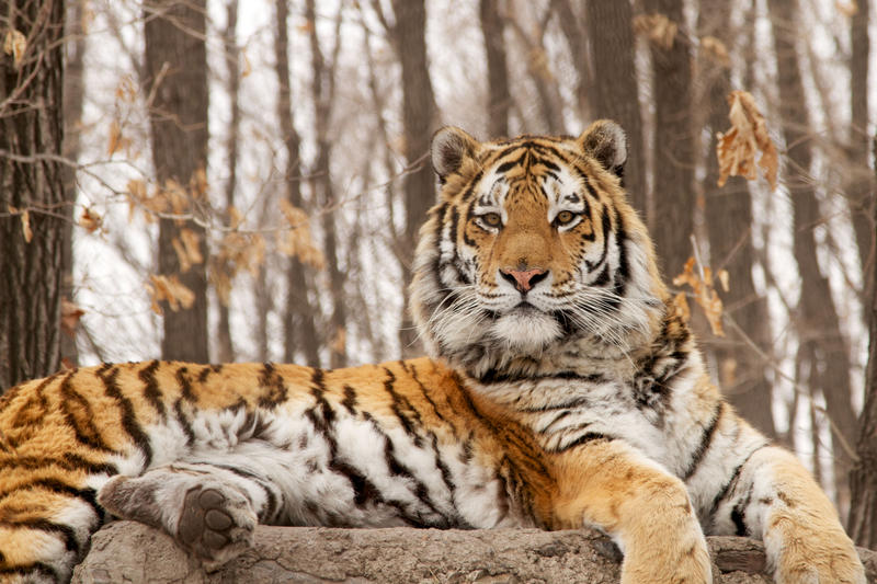 Raised in captivity, this adult male tiger is seen lying on a man-made lookout.