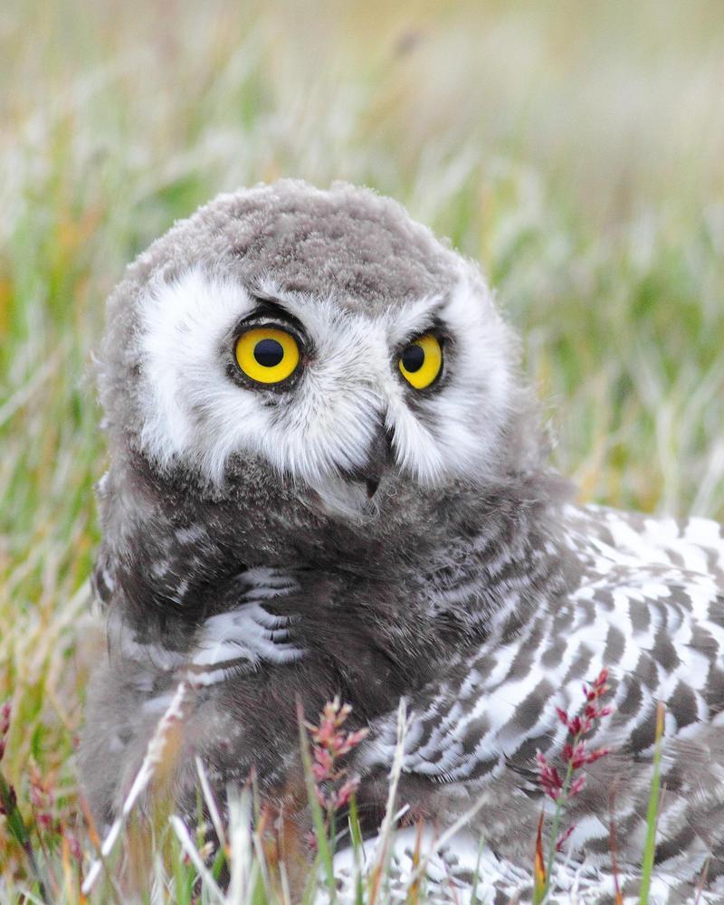 Juvenile Owl – close up.