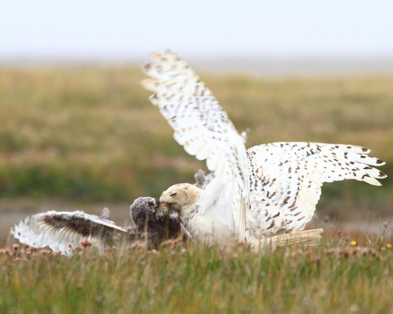 Female snowy owl feeding owlet