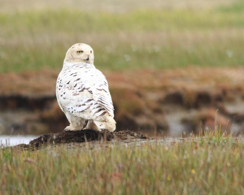 Female snowy owl perched near river.