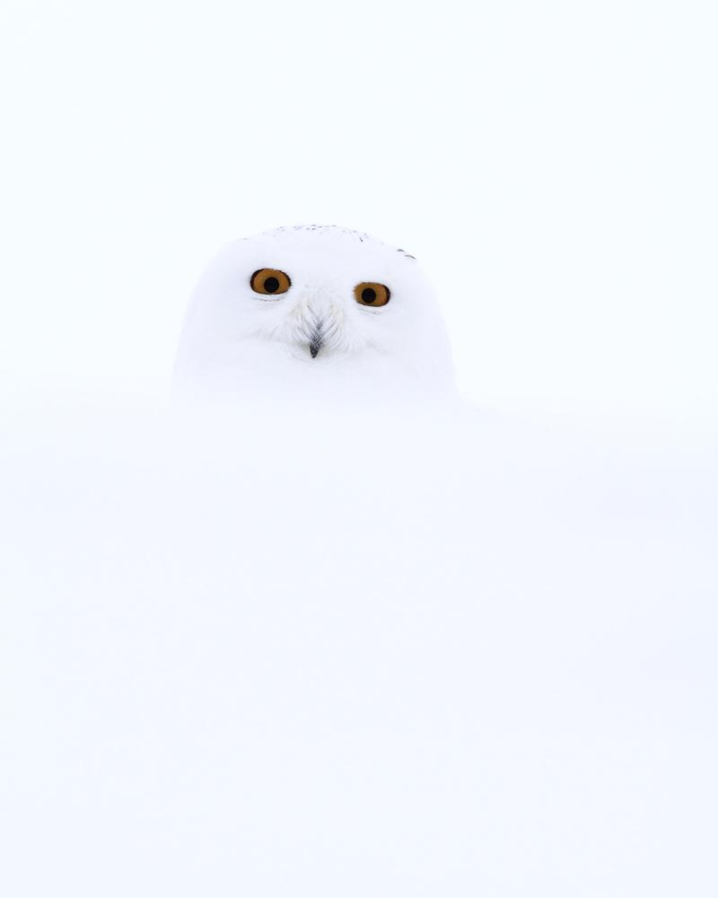 Barely visible snowy owl in snowy background