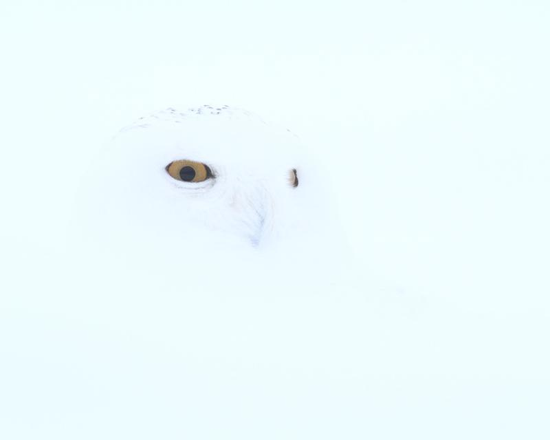 Barely visible snowy owl in snowy background.