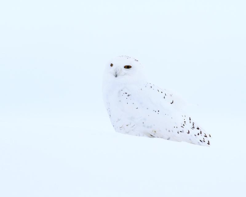 Snowy Owl in snow.