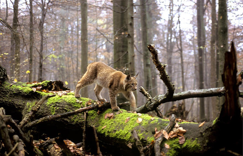 A lynx takes a stroll in a forest in the Balkans.