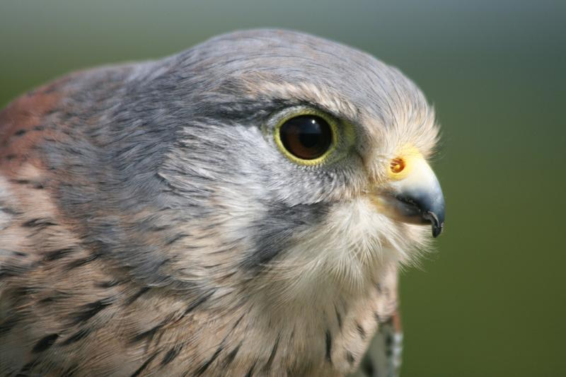 CU Kestrel (trained). Use of extreme slow motion filming to show how kestrels hover.