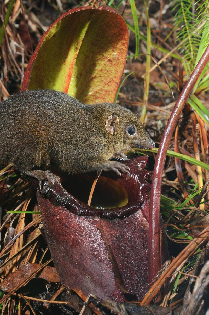 Rajah pitcher plant (Nepenthes rajah) with Mountain Treeshrew (Tupaia Montana). The pitcher plant (largest in the world) is a tree shrew toilet