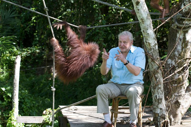 David Attenborough with young orangutan at Sepilok rehabilitation centre, Sabah, Malaysia.