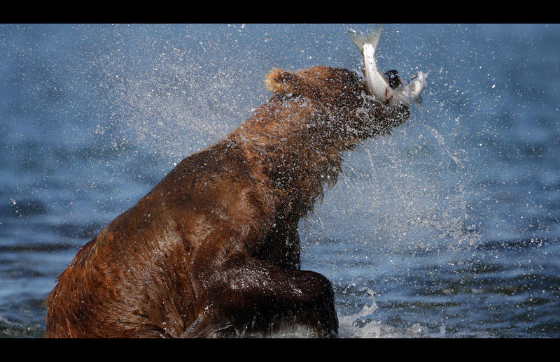 In early summer, grizzlies patrol the coast in search of salmon swimming upstream to spawn (Alaska).