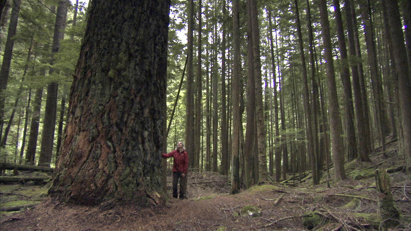 Dr. Suzanne Simard, University of British Columbia, looks up at a huge Douglas fir tree, some of which can be 120 metres tall, on the Sunshine Coast of British Columbia.