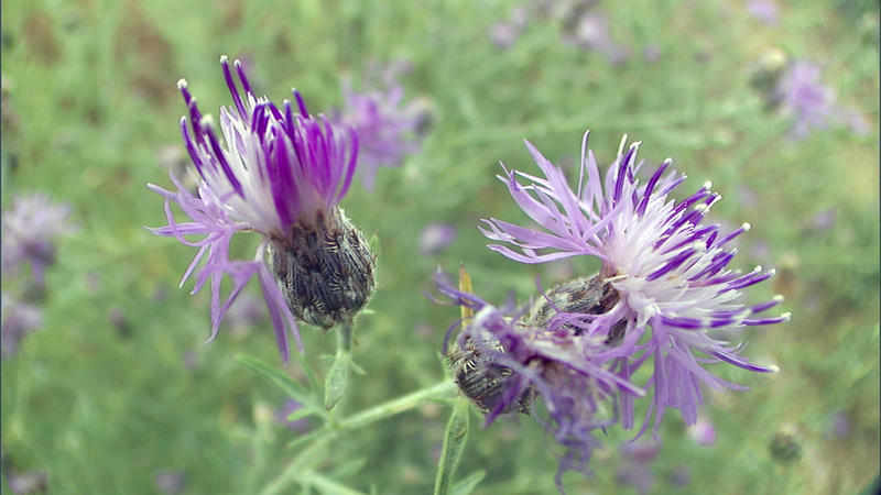 A beautiful, but deadly foreign invader, knapweed wreaks havoc with grazing land in Montana, choking out native grasses and plants.
