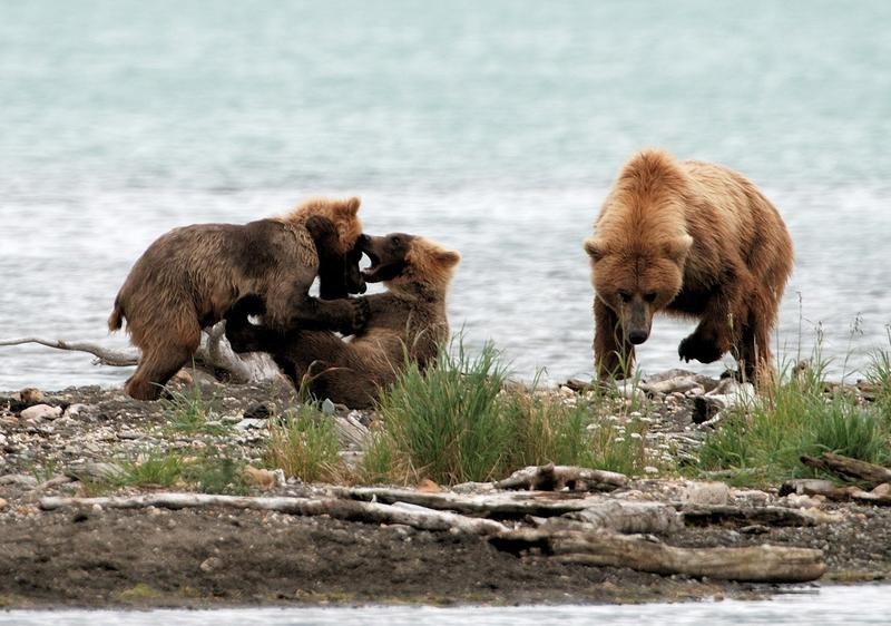 Grizzly mother with yearlings.