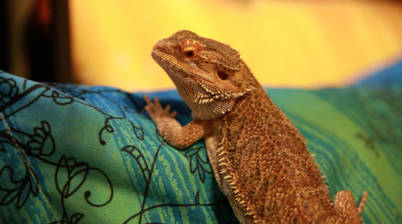 Toothless is an 18-month-old bearded dragon.