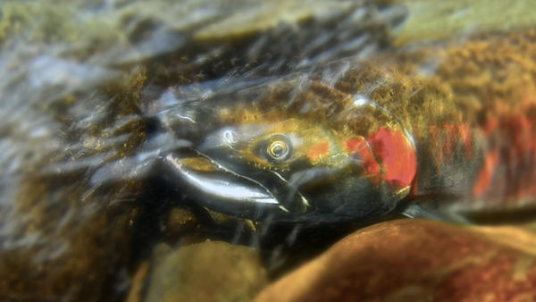 A mature Coho Salmon makes its way upstream to spawn.