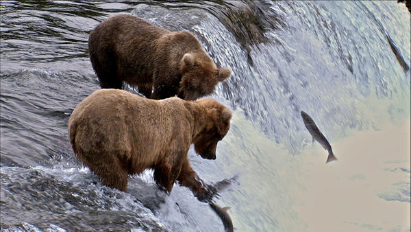 Grizzly bears take advantage of the salmon that swim upstream to spawn.
