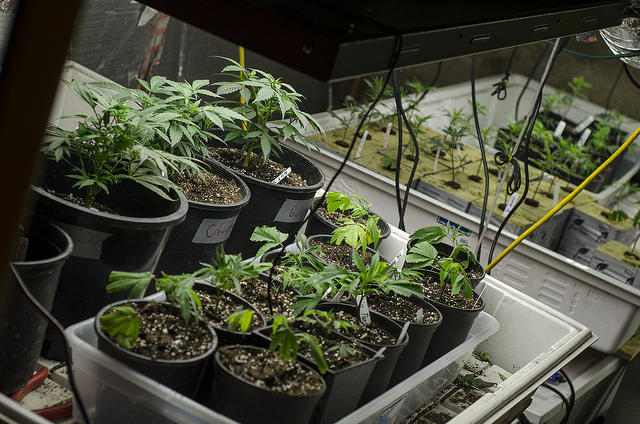 State picks 5 companies to cultivate marijuana
