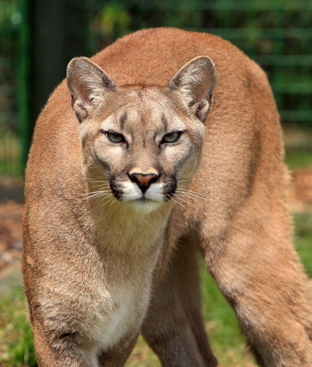A Local Hunter Armed With A Bow And Arrow Was Stalked By A Mountain Lion In The High Uintas And Scratched Up In An Encounter This Weekend
