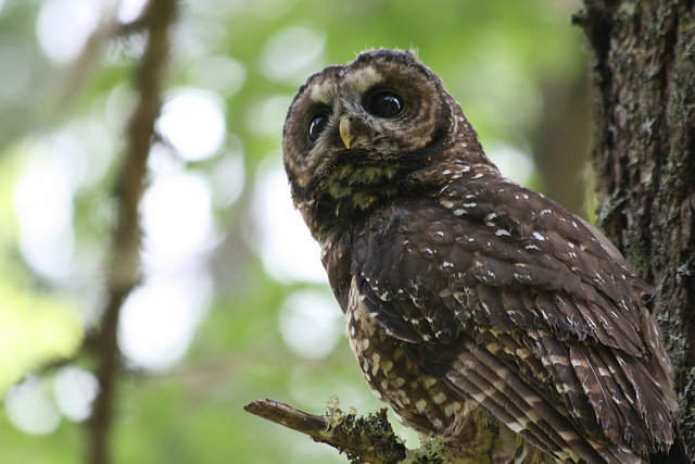 research paper on the northern spotted owl 4th grade