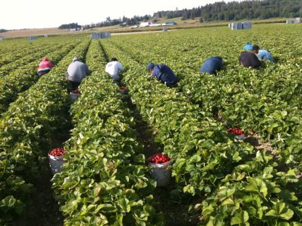 Workers at Sakuma Brothers Farms say they make less than minimum wage on the rates they earn picking berries by the flat.