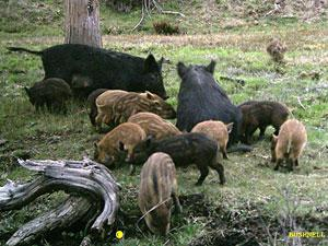 Picture of a group of feral swine