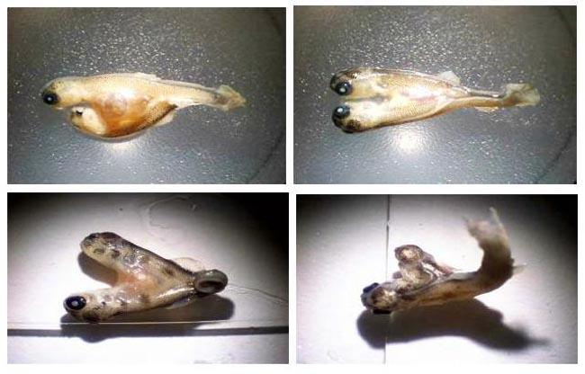 A study commissioned by the J.R. Simplot Company on selenium contamination in creeks in southeast Idaho includes photos of deformed Yellowstone cutthroat trout (top) and brown trout (bottom).