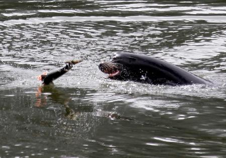 This May 2010 photo shows a sea lion tossing a partially eaten salmon in the Columbia River near the Bonneville Dam. Should more sea lions be killed to protect salmon runs? A new study says that's what should happen.