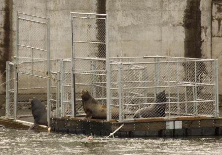 Several seal lions sit in two traps on the Columbia River near Bonneville Dam shortly before the doors are closed, trapping them for removal.